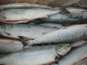Frozen Farmed Atlantic Salmon7