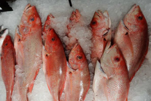 Frozen-white-snapper-fish