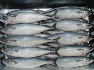 Mackerel Fish Frozen